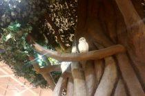 ガジュマルの木 写真2