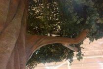 ガジュマルの木 写真4